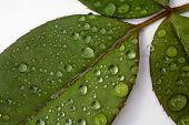 Close Up Droplets On Leaf