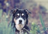 picture of spayed  - a senior dog looking at the camera - JPG
