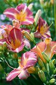 Hemerocallis in flowers.