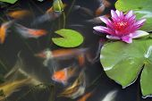 stock photo of koi fish  - Koi Fish Swimming in Pond with Water Lily Flower and Lilypad Long Exposure - JPG