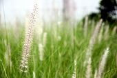 Garden Field Of Poaceae Grass In Evening.