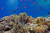 colorful coral reef with fire corals and fishes anthias at the bottom of tropical sea on blue water