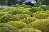 Boxwood - Green garden balls in Loire Valley. France