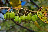 Berries Of Far-east