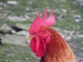 Red Rooster.