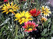 Colorful Gazania.