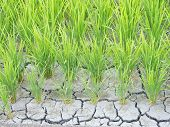 Paddy Cracked For Water Shortage
