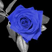 foto of blue rose  - digital art  - JPG
