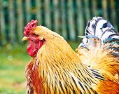 Portrait Of A Rooster From Holland