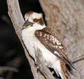 picture of kookaburra  - Kookaburra Bird - JPG