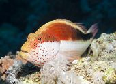 stock photo of hawkfish  - Freckled hawkfish paracirrhites forsteri resting underwater on a tropical coral reef - JPG