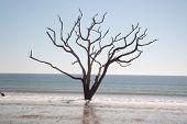Live Oak tree standing dead