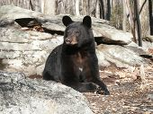 The Great American Black Bear