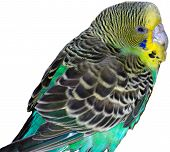 A Budgie bird sitting