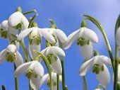White Snowdrop