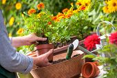 stock photo of plant pot  - Gardeners hand planting flowers in pot with dirt or soil - JPG