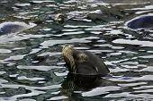 California Sea Lion (zalophus Californianus) In Monterey Bay