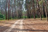 Road to a pine forest