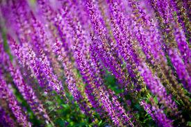 stock photo of clary  - violet flower background from salvia nemorosa - JPG