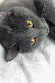 Certosino Cat