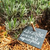 Culinary Lavender In Garden