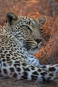 Beautiful Large Male Leopard Resting In Nature In Gathering Darkness