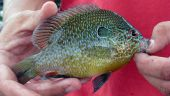 picture of bluegill  - Beautiful Bluegill caught off of Lake Barkley - JPG