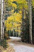 Mountain Road Winds Through Quaking Aspens, Flagstaff, Arizona