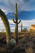 Monsoon Storm Builds Over Saguaro Cactus In Arizona's Sonoran De
