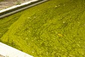 image of green algae  - close up algae infested green slimy swimming pool - JPG