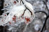 Frozen branch of mountain ash