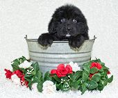 pic of newfoundland puppy  - Sweet little Newfy in a tub with red and white roses around her on a white background - JPG