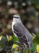 Northern Mockingbird I See You
