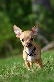 Adorable Chihuahua