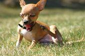 Yawning Chihuahua