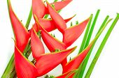 stock photo of heliconia  - Tropical heliconia flower  - JPG