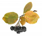 picture of chokeberry  - Autumn bunch of ripe black chokeberry with leaves - JPG