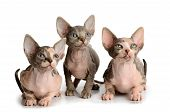 Three Sphinx Kitten