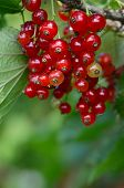 The Red Currant Close Up