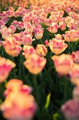 The Flowerbed With Pink-white Tulips.