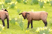 image of spring lambs  - Suffolk lambs in a spring Oregon pasture - JPG
