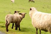 foto of spring lambs  - Suffolk lambs in a spring Oregon pasture - JPG