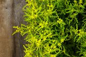Yellow Blooming Sedum Small Star Shaped Flowers Rockery Garden Plants