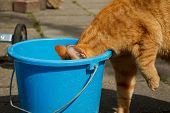 Cat Drinking From Bucket