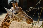 Giraffe Enjoys A Meal