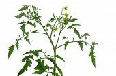 Inflorescence Of Tomato