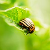 foto of potato bug  - The Colorado potato striped beetle (Leptinotarsa decemlineata) is a serious pest of potatoes