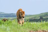 American Buffalo Calf