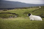 Sheep on pasture,  Yorkshire Dales, Yorkshire, England