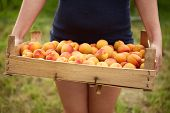 Female Hands Holding A Wooden Box Full Of Apricots